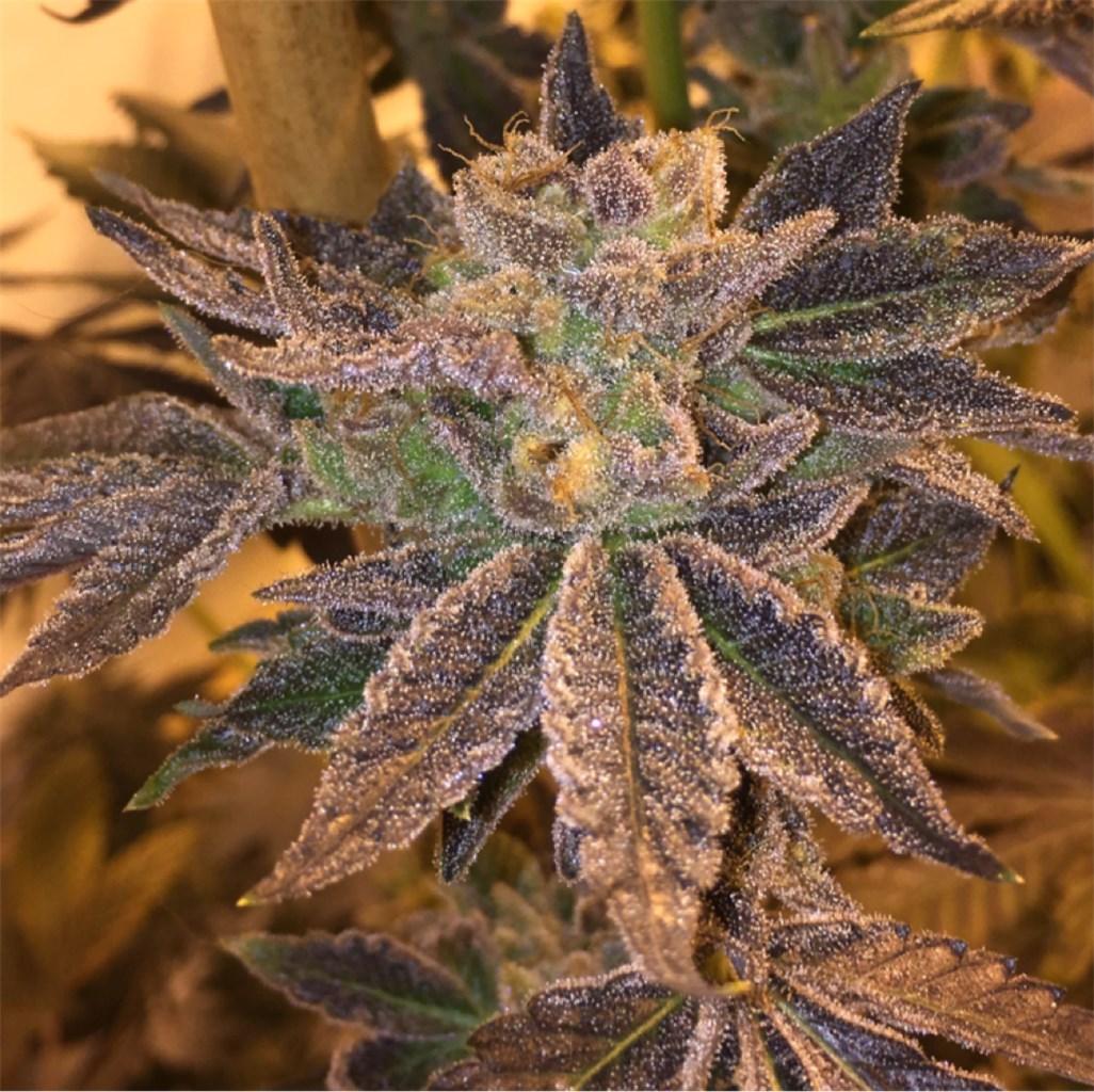 Cream Pie Cannabis Strain